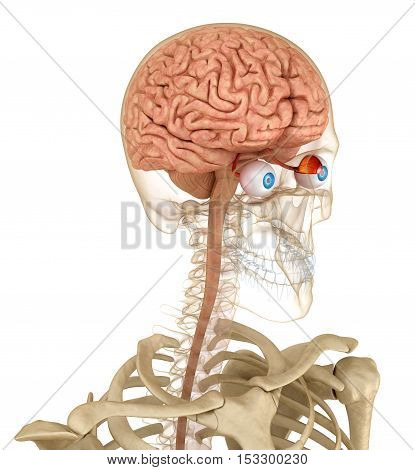 Eye anatomy and skeleton isolated on white. 3D render