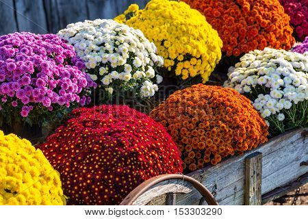 Colorful mums in the old wood farm wagon.