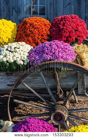 Old Farm Wagon Wheel And  Mums