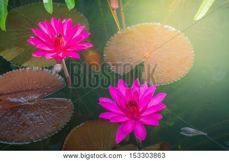 Close up photo of bright pink colour twin lotus blossom or water lily flower in pond background with sunny light in the morning