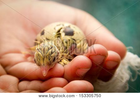 Tiny Quail Chicks That Just Hatched From An Egg