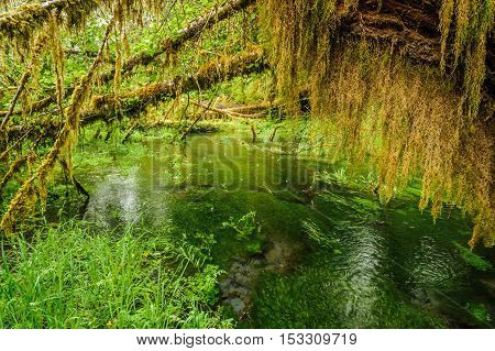 pond and trees covered with moss in the temperate Hoh Rain Forest.Olympic National Park Washington State USA