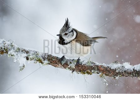 Beautiful crested tit perched on a branch during a cold winter while it snows
