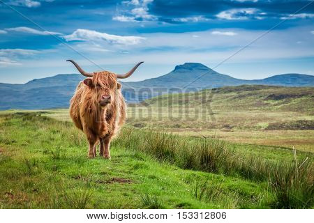 Brown Highland Cow In Isle Of Skye, Scotland