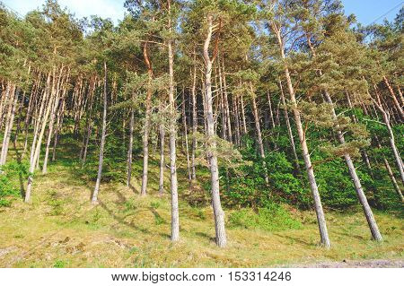 Beach with endless fir forests at Baltic sea