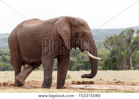 Bush Elephant Crossing His Legs At The Watering Hole