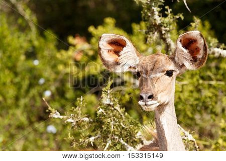 Female Kudu Standing Deep In Thought