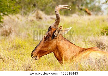 Red Hartebeest Resting In The Field
