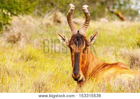 Red Hartebeest Sitting In The Field