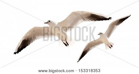 two seagulls are flying isolated on a white background
