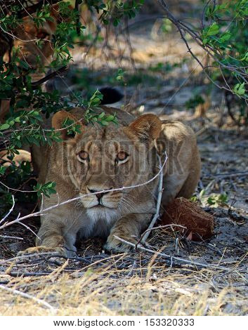 Young Lion laying beneath a bush staring intently while another lion hides in the undergrowth