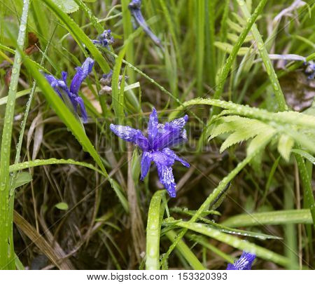 Iris in forest. Blue flower on leaves background