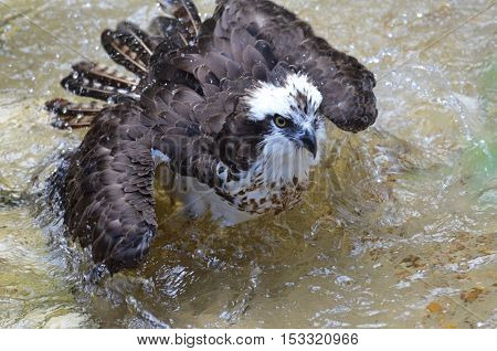 Fish hawk bathing in a pool of shallow water.