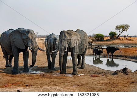 Three elephants next to a waterhole with buffalo in the background in Hwange National Park