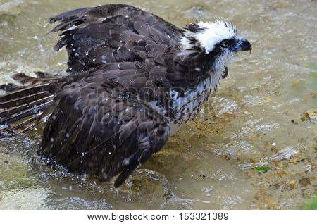 Ruffled feathers on an osprey in shallow water.