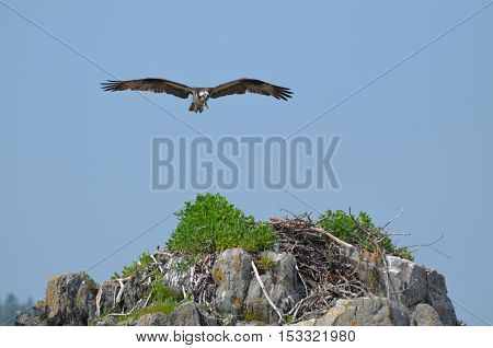 Fish eagle bird circling above a nest.