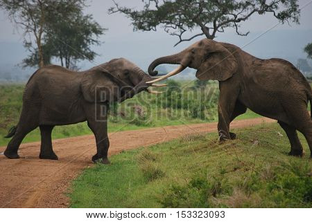 Two elephants which plays on a path of the park.