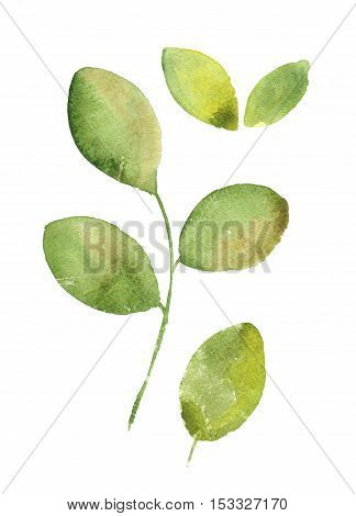 Watercolor branch with green leaves . Hand drawn elements for design