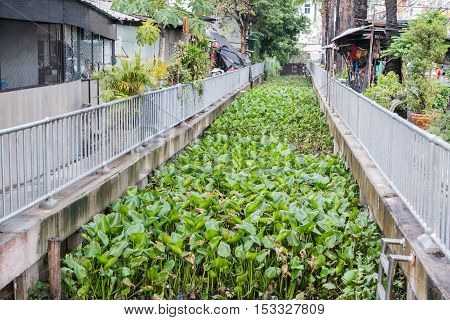 The Water a hyacinth in the river