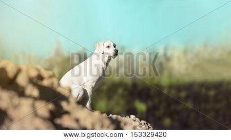 young labrador retriever dog puppy on a hill