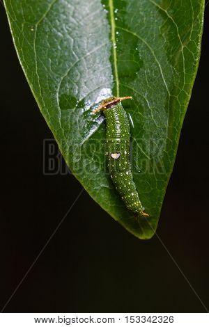 Young Tawny Rajah Caterpillar