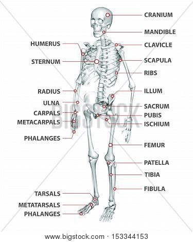 3D illustration of a human skeleton with explanatory list of bones, in perspective view, for didactic or learning purpose