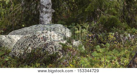 Round stones in the Nordic forests covered of Arctoparmelia centrifuga, lichen.