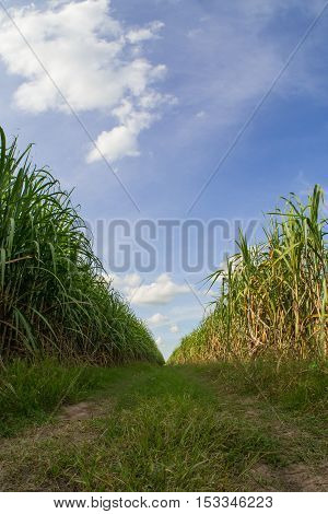 Road among sugarcane field with blue sky.Sugarcane raw material of sugar and biofuel or Ethanol.
