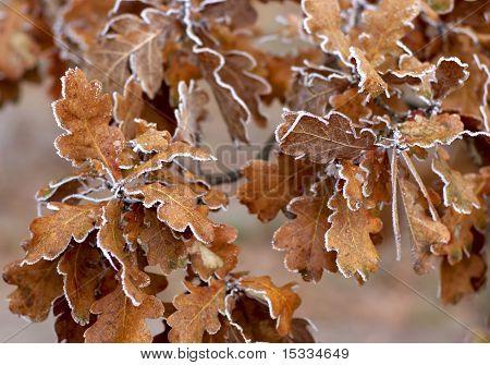 autunm oak leaves
