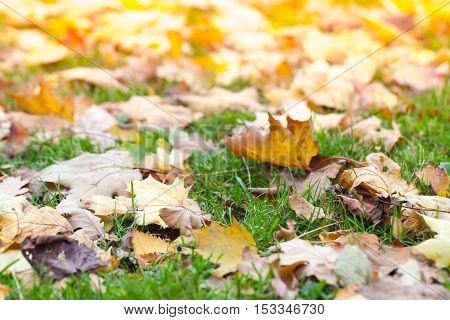Fallen Leaves Lay On Green Grass