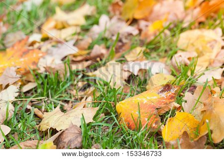 Autumnal Leaves Lay On Green Grass