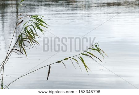 Coastal Reed And Still Lake Water