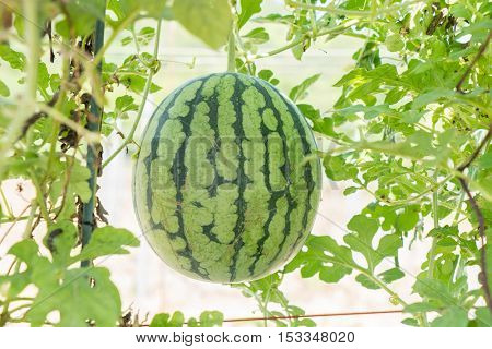Fresh watermelon hanging in the plantation.