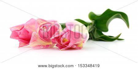 Three beautiful pink tulips isolated on white background.