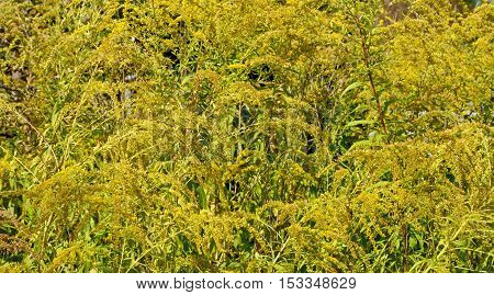 Densely Growing Yellow Weed As Natural Background.