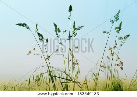 grass in foggy field