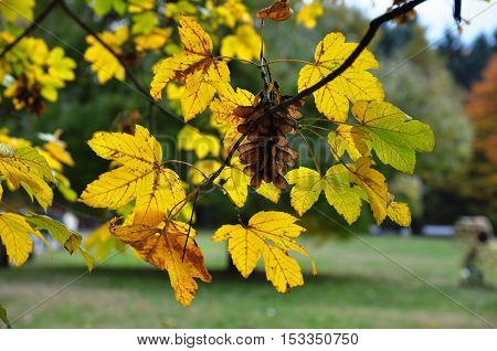Yellow leaves on a park tree branch