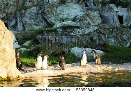 Cute penguins near water in a zoo preparing to swim