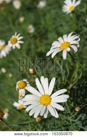 Scenery Of Daisy Flowers On Summer