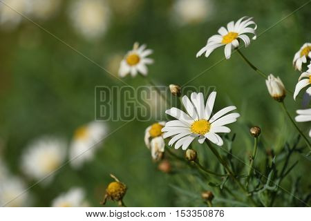 Daisy Flowers On Green Blur Scenery Background