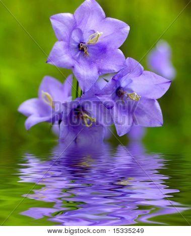 Campanula bell-fower reflected in the water