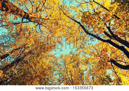 Autumn tree tops- orange autumn trees tops against blue sky. Autumn natural view of autumn trees. Autumn trees branches against blue autumn sky in sunny autumn weather. Autumn view of autumn tree tops