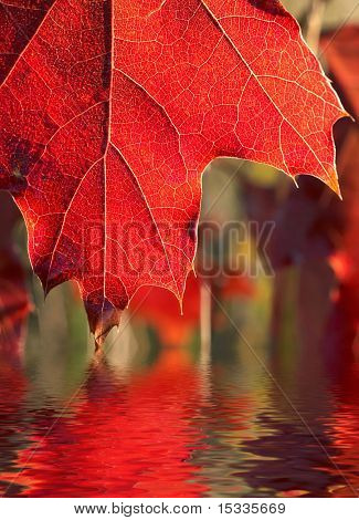 close up of red leaf reflected in the water