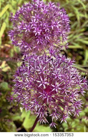 Allium 'Globemaster' is a sterile hybrid that does not produce seed. It is a bulbous perennial that is ornamentally grown for its spring bloom of spherical deep lavender flower heads.