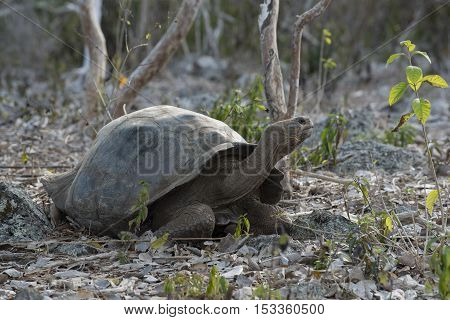 Wildlife Scene Of Giant Turtle In Galapagos Island