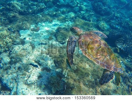 Green turtle swimming in sea. Snorkeling with turtle in lagoon. Philippines snorkeling spot. Sport during vacation