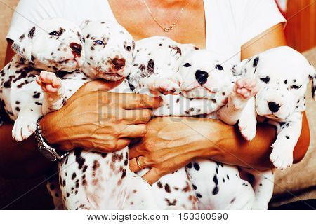 human hand holding many puppies dalmatian close up