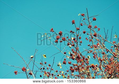 Branches of autumn rowan berry tree against blue sky with free space for text. Autumn background in vintage tones. Autumn nature view of rowan berry tree - autumn background in creative tones