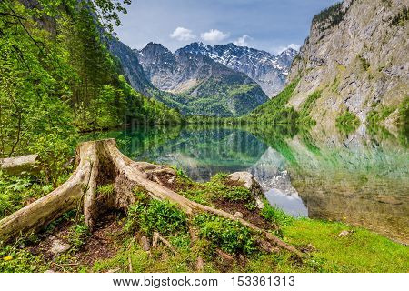 Old Tree Root On The Shores Of Obersee Lake In Alps, Germany