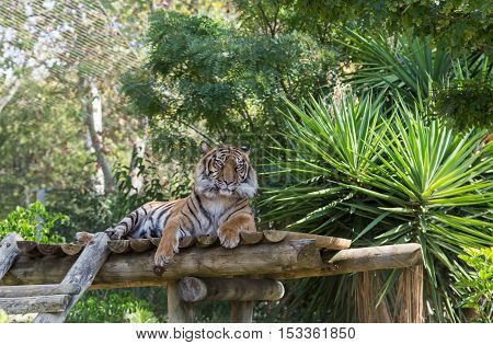 Rest Tiger On Wooden Platform